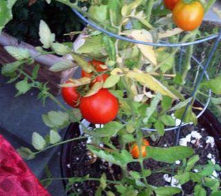 02. Tomatoes