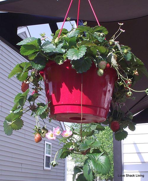 11. Strawberry Plants
